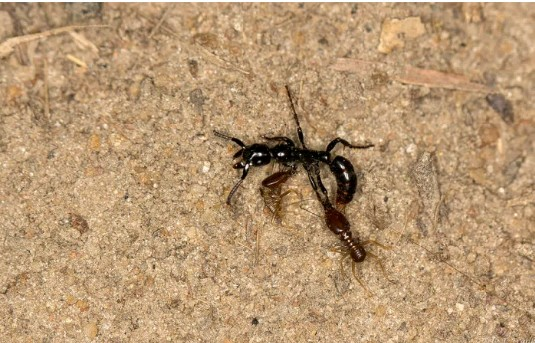 Matabele ants of africa